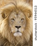 Male African Lion  Panthera Le...