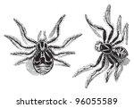 Crab Spider  Thomisus Viaticus...