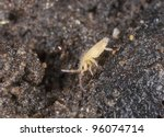Springtail (Collembola) sitting on wet ground , extreme close-up with high magnification - stock photo