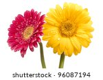Two Beautiful Gerbera Blossoms...
