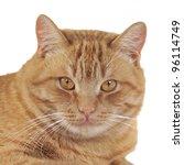 Ginger Cat Portrait  Studio...