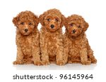 Red Toy Poodle Puppies  2 Mont...