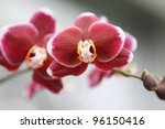 close up shot of red Orchid flowers - stock photo