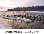 Flock Of Swans And Duck In Lake