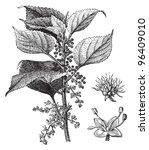 boehmeria tenacissima   vintage ... | Shutterstock .eps vector #96409010
