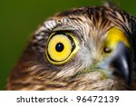 The portrait of sparrow-hawk (Accipiter nisus) close-up. - stock photo
