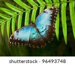 Blue Shiny Butterfly  Morpho...