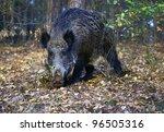 Wild Boar Foraging In Forest ...