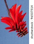 Coral Flower  Erythrina  A...