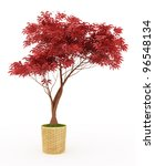 Bonsai  Japanese Maple With Re...