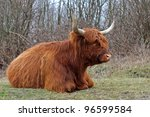 highland cow - stock photo