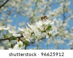 Honey bee collecting pollen from the flowers of a plum tree . - stock photo