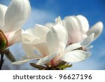 Close up  of magnolia flowers in springtime. - stock photo