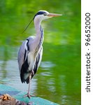 portrait of a grey heron on the ...   Shutterstock . vector #96652000