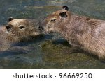 Two Capybaras In The Water