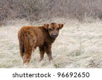 baby calf of a highland cow - stock photo