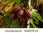 cocoa fruit in the tree  red...