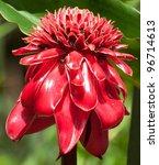 Torch Ginger Flower  Etlingera...