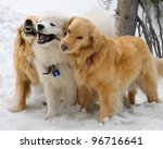 Stock photo golden retrievers and samoyed playing with a stick in the snow 96716641