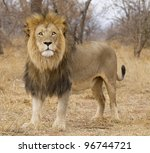 Male African Lion (Panthera leo), South Africa - stock photo