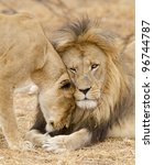 Male & female African Lion (Panthera leo), South Africa - stock photo
