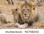 Male African Lion (Panthera leo) and cub, South Africa - stock photo