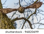A Ural Owl Flies Out Of A Tree...