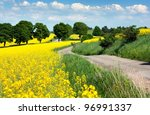Field Of Rapeseed   Brassica...