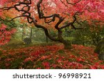 Beautiful Japanese Maple In The ...