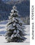 Single Fir Tree In Winter