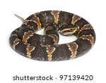 Small photo of common cantil or Mexican moccasin - Agkistrodon bilineatus taylori, poisonous, white background