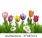 Colorful tulip Flowers And Green Grass On White Background - stock photo