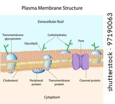 Structure of plasma membrane - stock vector