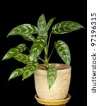 Small photo of Aglaonema Plant in pot on black background