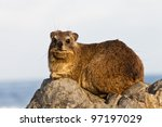 Hyrax Sitting On A Rock At...