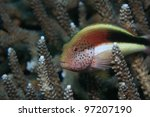 Freckled hawkfish on tropical coral - stock photo