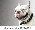 Stock photo portrait of young bulldog showing the tongue against a grunge background 97224389