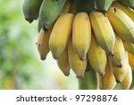 Bunch Of Ripening Bananas On...
