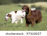 Red and red & white Irish Setters - stock photo