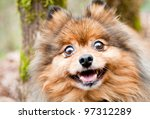 Cute And Fluffy Pomeranian Dog...