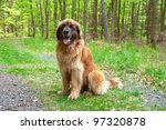 Leonberger Dog Sitting In Forest
