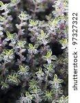 thyme silver queen growing | Shutterstock . vector #97327322