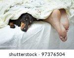 Dachshund Dog Sleeping On Bed...