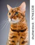 studio portrait of bengal cat... | Shutterstock . vector #97461338