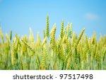 A Field Of Wheat On Blue Sky...