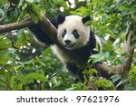 Cute Giant Panda Bear In Tree