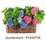 beautiful hydrangea on white... | Shutterstock . vector #97642736