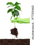 planting young coffee tree into soil isolated on white - stock photo