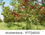 Ripening Cherries On Orchard...