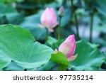 majestic lotus. | Shutterstock . vector #97735214